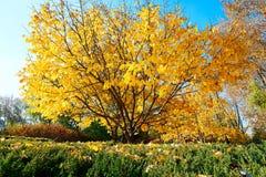 金黄叶子在公园 库存图片