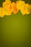 金黄叶子有绿色背景 免版税图库摄影