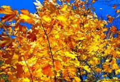 金黄叶子槭树 图库摄影