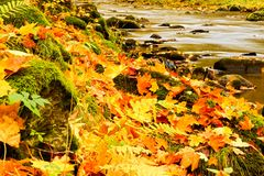 金黄叶子槭树 库存照片