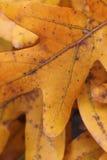 金黄叶子橡木 免版税图库摄影