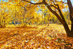 金黄叶子秋天风景 库存图片