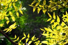 金黄叶子 图库摄影