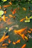 金黄和五颜六色的鱼池 免版税库存照片