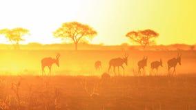 金黄和垫铁-红色Hartebeest,从非洲的野生生物日落背景。 免版税库存照片