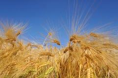 金黄和成熟麦子 图库摄影