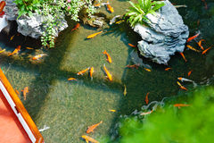 金黄和红色koi鱼 库存图片