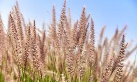 金黄和绿草自然在天空的夏天背景 免版税库存图片