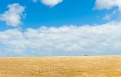 金黄在公牛附近的大麦庄稼农村土地Manawatu - Wanganui 库存照片