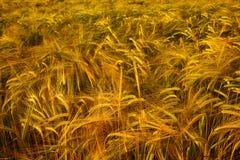 金黄大麦大量  免版税图库摄影
