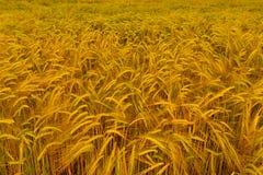 金黄大麦的领域 免版税库存照片