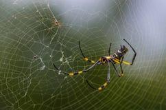 金黄天体蜘蛛 库存图片