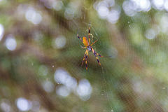 金黄天体织布工蜘蛛 库存照片