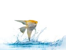 金黄天使鱼的画象 库存照片