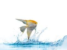 金黄天使鱼的画象 免版税库存照片