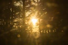 金黄太阳通过森林 库存照片