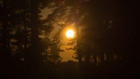 金黄太阳通过森林 免版税库存照片