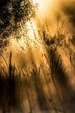 金黄太阳通过灌木发出光线在一个有薄雾的早晨 图库摄影