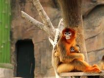 金黄猴子;母亲和婴孩 库存图片