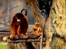 金黄猴子 免版税图库摄影