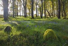 金黄小时会开蓝色钟形花的草在绿色生苔森林,爱尔兰里 免版税库存照片