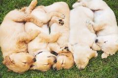 金黄小狗猎犬 库存图片