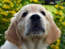 金黄小狗猎犬 库存照片