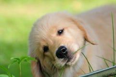 金黄小狗猎犬 免版税库存图片
