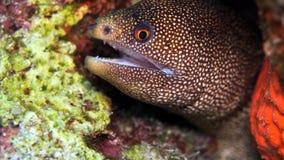 金黄尾巴鳗鱼 库存照片