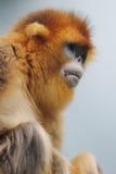 金黄平而短的猴子2016年 免版税库存照片