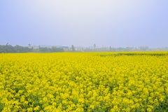 金黄开花的强奸领域在有雾的晴朗的春天 免版税图库摄影