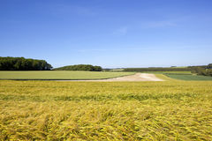 金黄成熟的大麦庄稼 免版税库存照片
