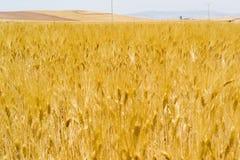 金黄成熟麦子耳朵的领域 图库摄影