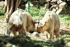 金黄扭角羚(羚牛属taxicolor bedfordi) 免版税图库摄影