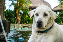 金黄拉布拉多猎犬关闭 免版税库存图片