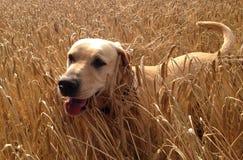 金黄拉布拉多-愉快的狗 免版税库存图片