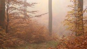 金黄有雾的树在秋天森林里 股票视频