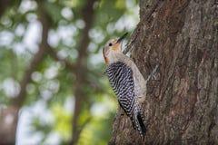 金黄朝向的啄木鸟,树,吠声,离开 免版税库存图片