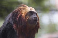 金黄朝向的狮子绢毛猴 图库摄影