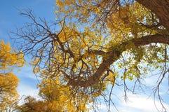 金黄杨属 库存图片