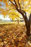 金黄树叶子 库存照片