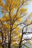 金黄树和叶子在百花山Mountainï ¼ Œ北京 图库摄影