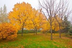 金黄树在薄雾秋天 免版税库存图片