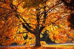 金黄树 库存照片