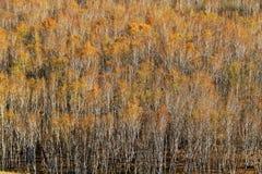 金黄桦树 免版税库存图片