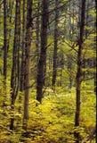 金黄森林- 2 免版税库存图片