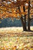 金黄橡木在公园 免版税库存照片