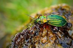 金黄步行虫, Carabus auronitens,在湿石头的美丽的光滑的昆虫 与发光的金黄步行虫的水场面 B 免版税库存图片