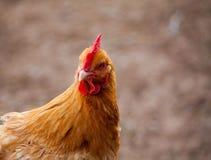金黄母鸡 免版税库存图片