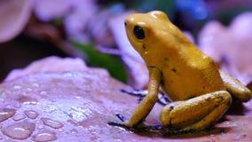 金黄毒物箭两栖动物青蛙 股票视频